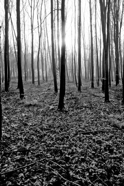 woodlandi.jpg